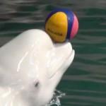 名古屋港水族館のベルーガ(シロイルカ)がかわいい!イルカショーもおすすめ【動画有】
