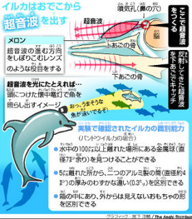 イルカのエコーロケーション説明画像