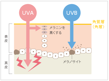 UVAとUVBの肌への到達度