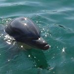 【イルカと泳ぐ】日本国内でドルフィンスイム体験!和歌山県太地町