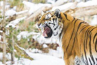 最強のトラ
