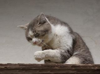 花粉症の猫
