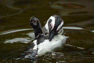 かきむしるペンギン