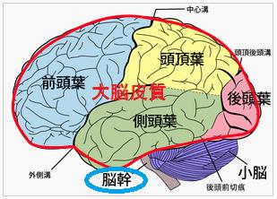 レビー小体型認知症と脳