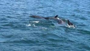 イルカだらけのイルカウォッチング(5頭)
