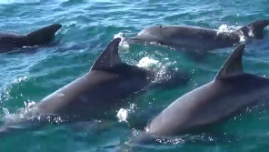 イルカだらけのイルカウォッチング(数え切れない)