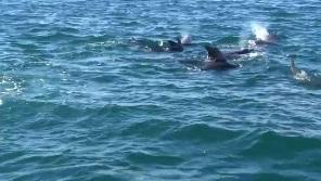 イルカだらけのイルカウォッチング(7頭)