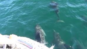 イルカウォッチング 船を先導する4頭