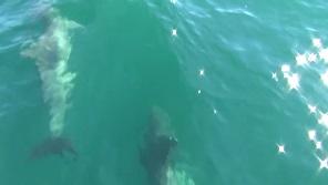 イルカウォッチング 水中
