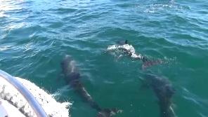 イルカウォッチング 水中3頭