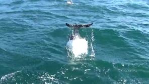 尾びれで水をかけるイルカ