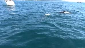 イルカウォッチング1頭目の野生イルカ