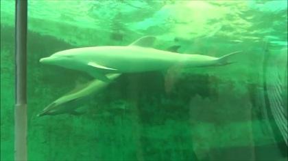 スジイルカと泳ぐアルビノ(白いイルカ)